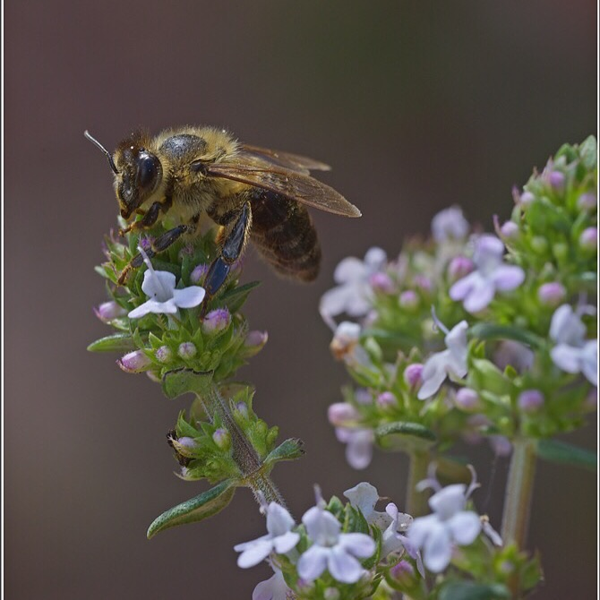 Saviolakis Family Cretan Thyme Honey. #2 (1)